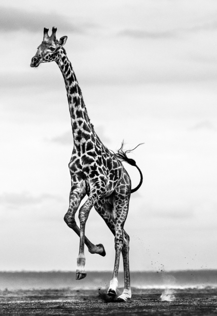 David Yarrow, 'Hoof It', 2019, Galleri Fineart