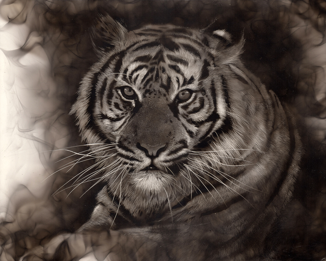 Steven Spazuk, 'Tiger', 2020, Painting, Soot from fire on gessoed panel, Adelson Galleries