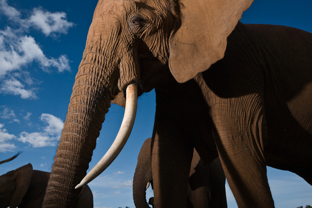 , 'Victoria of the Royals, the most powerful elephant family in Samburu National Reserve, Kenya.,' 2007, Anastasia Photo