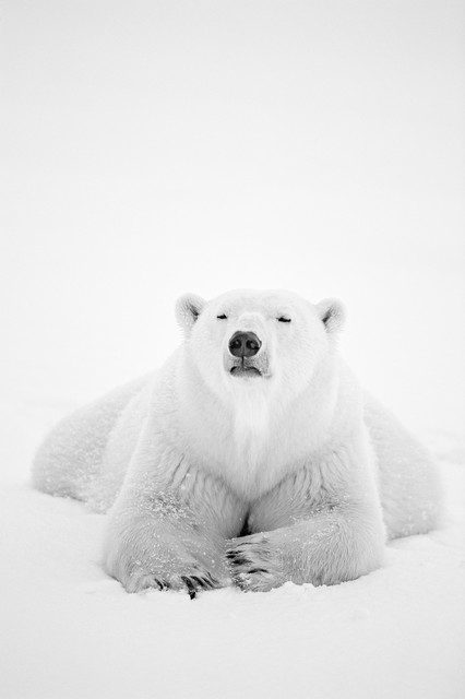 , 'Arctic Nomad,' , Paul Nicklen Gallery