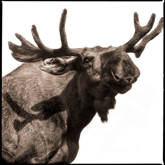 , 'Moose-I,' 2018, Visions West Contemporary