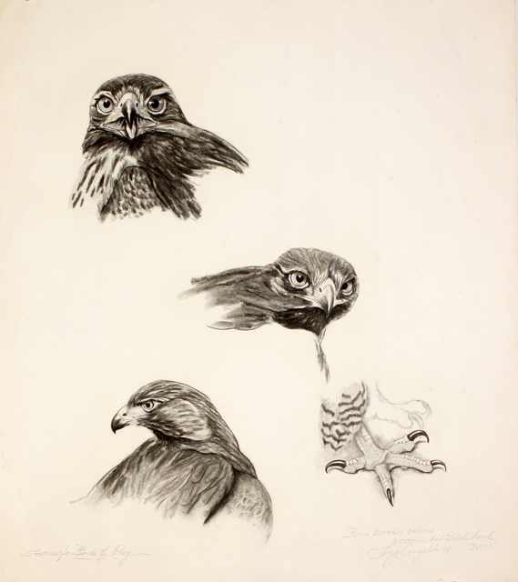 Tony Angell, 'Western Redtailed Hawk', 1971, Foster/White Gallery