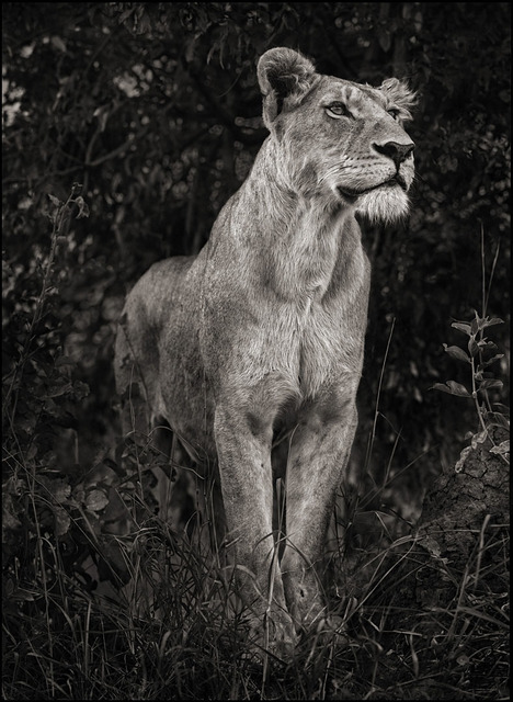 , 'Lioness Against Dark Foliage, Serengeti,' 2012, Edwynn Houk Gallery