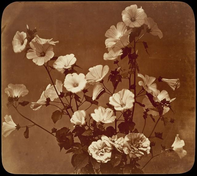 Adolphe Braun, '[Flower Study, Rose of Sharon]', ca. 1854, The Metropolitan Museum of Art