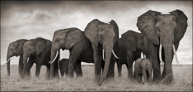 , 'Elephants resting, Amboseli,' 2007, Bernheimer Fine Art