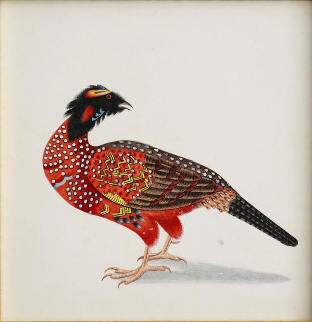 , 'Tragopan melanocephalus (Western Tragopan Pheasant),' , Swaraj Art Archive