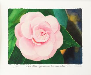 Camellia Japonica Incarnata