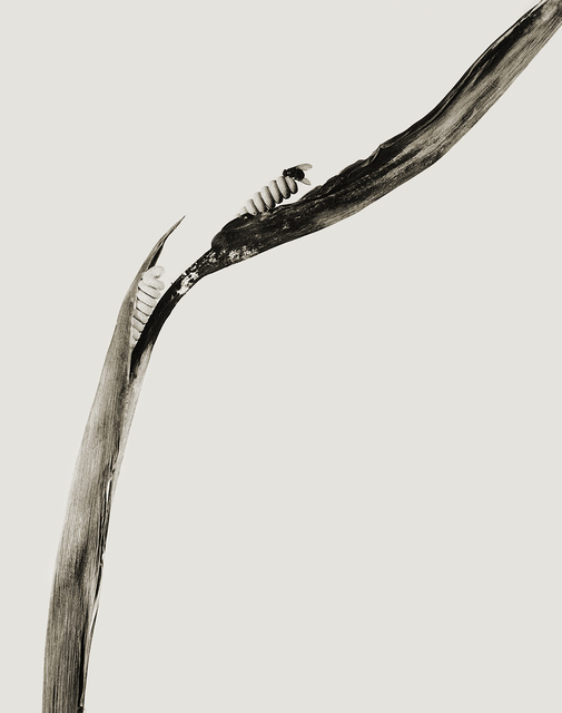 , 'SERIE HERBARIUM, 1982 - 1985, PIRULERA SALBITANA,' 1983, espaivisor - Galería Visor