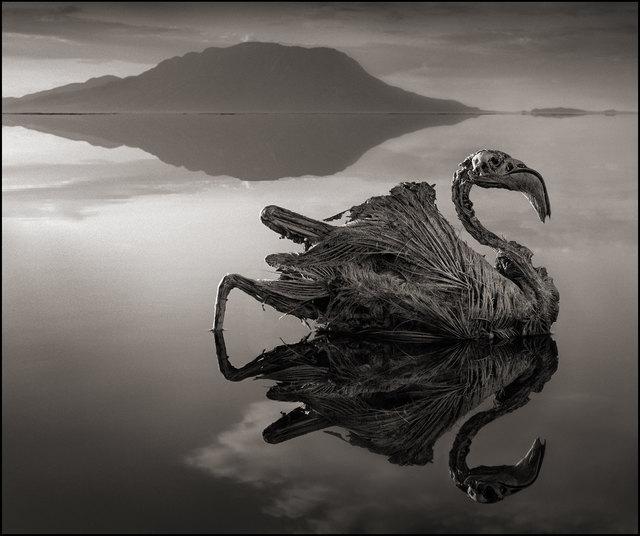 Nick Brandt, 'Petrified Reflected Flamingo, Lake Natron ', 2010, Atlas Gallery
