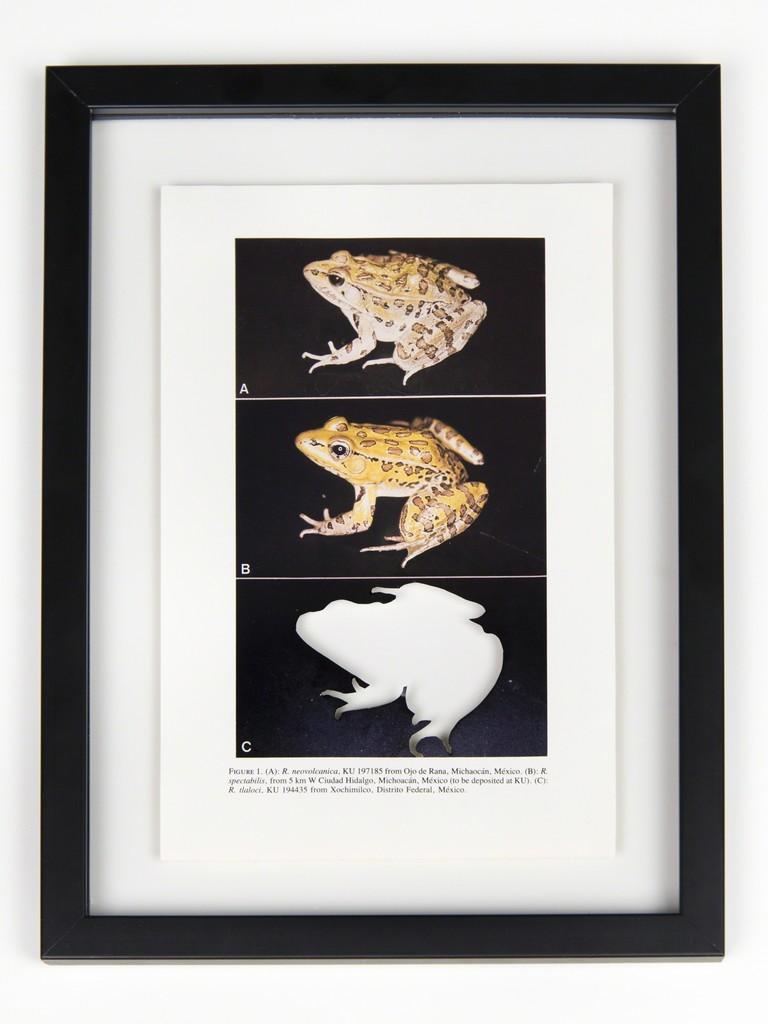 RIP Tlaloc's Leopard Frog: After David M. Hillis, 1985