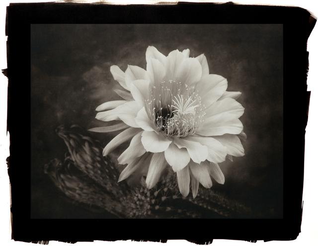 , 'Hedgehog Cactus,' , Gallery 270