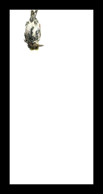 , 'Chestnut-sided Warbler,' 2017, Corkin Gallery