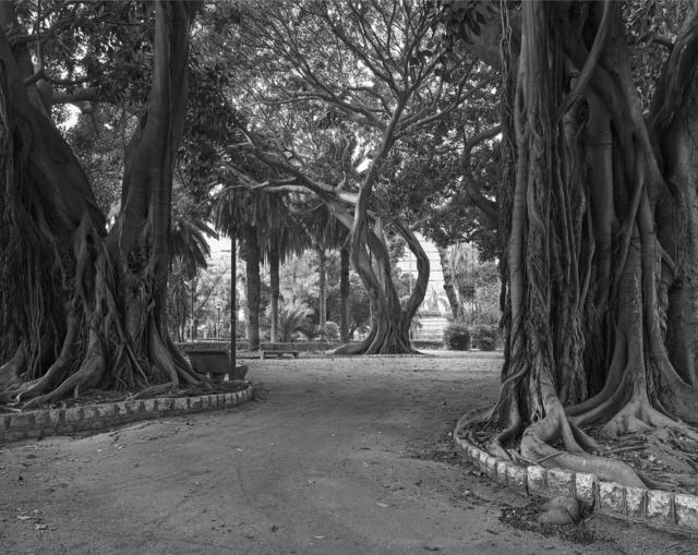 , 'Palermo (Giardini Inglese - Ficus),' 2013, Frith Street Gallery