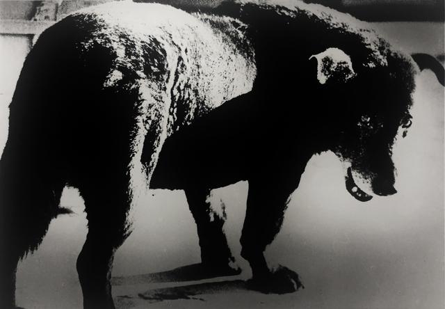 Daido Moriyama, 'Stray Dog, Misawa', 1971, Bruce Silverstein Gallery