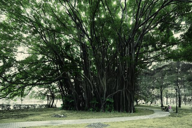 , 'Malayan Banyan, Kallang Basin,' 2015, 2902 Gallery