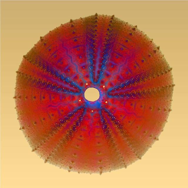 , 'Sea Urchin,' , Florida Fine Art