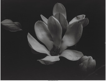 Calla Lily II, Timeless Constructs, Lily X, and Magnolia I (four photographs)