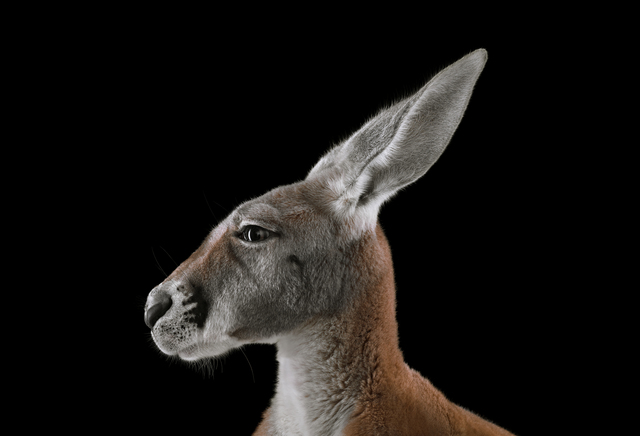 , 'Kangaroo #1, Los Angeles, CA,' 2011, photo-eye Gallery