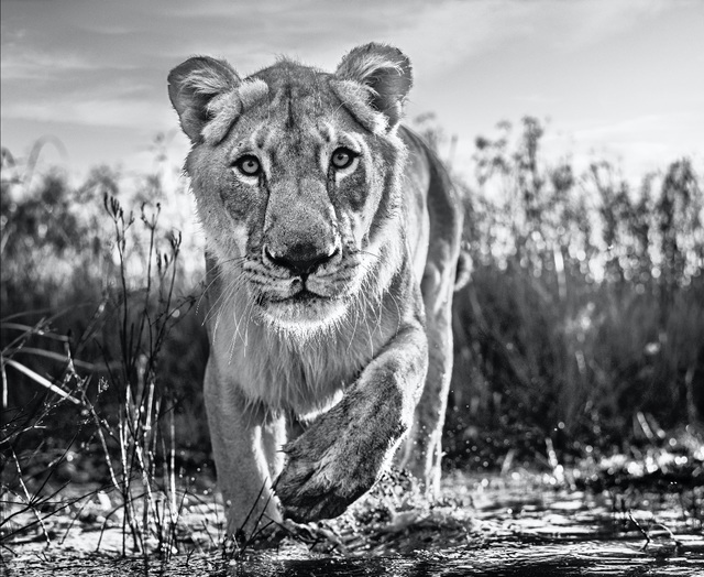 David Yarrow, 'Intent', 2020, Photography, Archival Pigment Print, Hilton Asmus