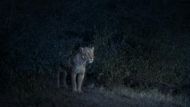 David Burdeny, 'Nocturne Lioness, Maasai Mara, Kenya', 2019, Galerie de Bellefeuille