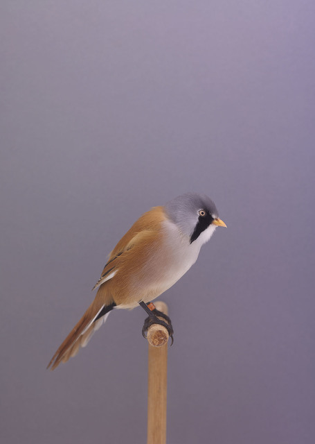 , 'Bearded Reedlings #1,' ca. 2016, The Photographers' Gallery