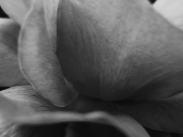 , 'Rose I,' ca. 2005, Mac-Gryder Gallery
