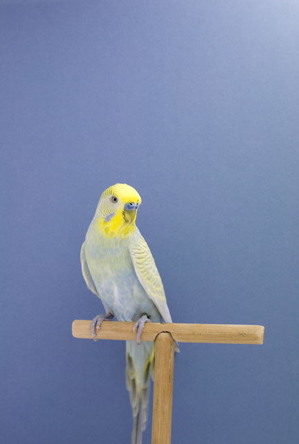 Luke Stephenson, 'Budgie #7, from The Incomplete Dictionary of Show Birds', 2008, The Photographers' Gallery | Print Sales