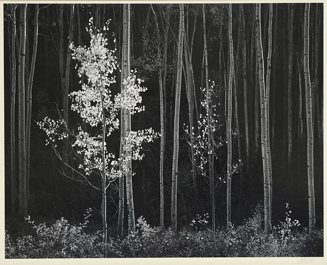 Ansel Adams, 'Aspens, Northern New Mexico', 1958, Weston Gallery