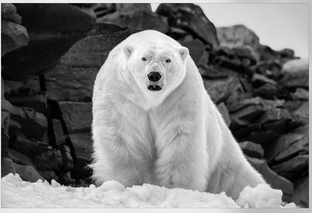 , 'Polar Wisdom,' , Paul Nicklen Gallery