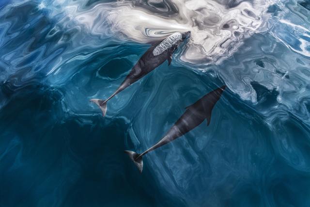 , 'Pacific Dance,' , Paul Nicklen Gallery