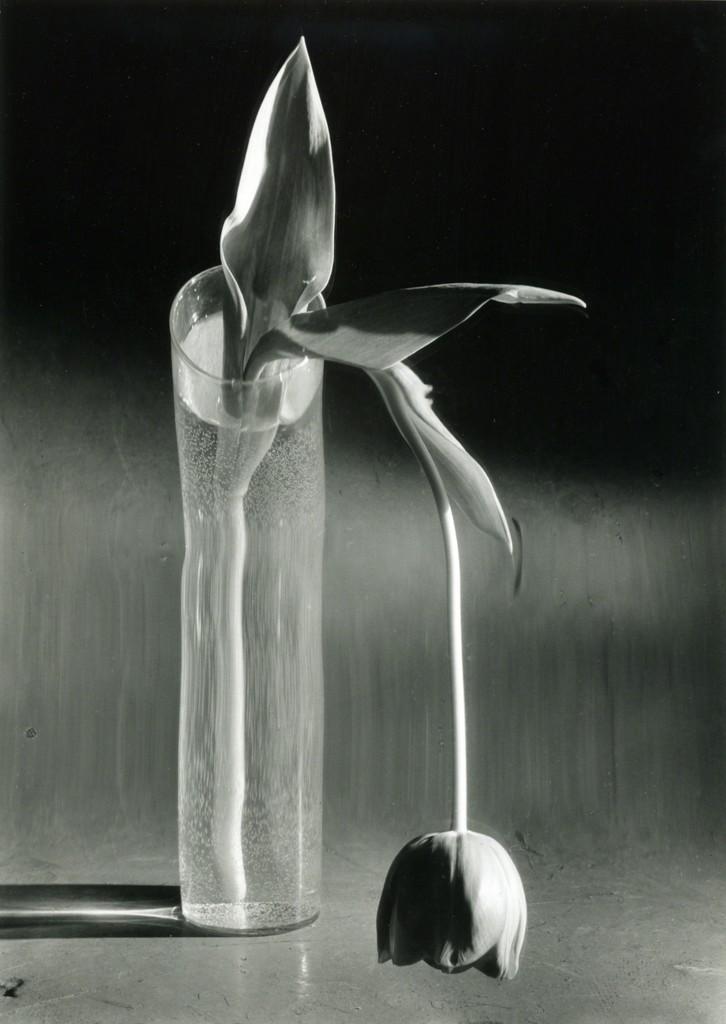 Melancholic Tulip, February 1939