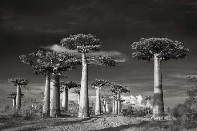, 'Avenue of the Baobabs, Morondava, Madagascar.,' 2006., Roland Belgrave Vintage Photography Ltd