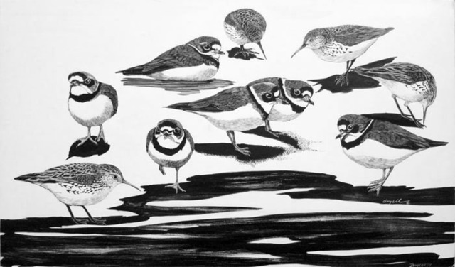 Tony Angell, 'Semipalmated Plovers & Western Sandpipers at Dungeness', 1981, Foster/White Gallery