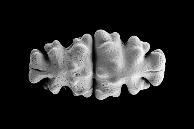, 'Ulrike (Euastrum oblongum),' 2016, DITTRICH & SCHLECHTRIEM