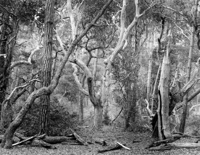 , 'Del Monte Forest, Study I,' 2012, Photography West Gallery