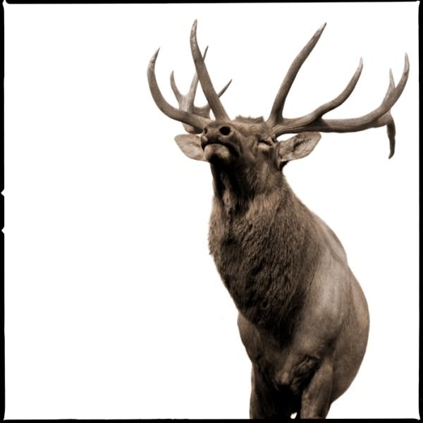 , 'Elk II,' 2017, Julie Nester Gallery
