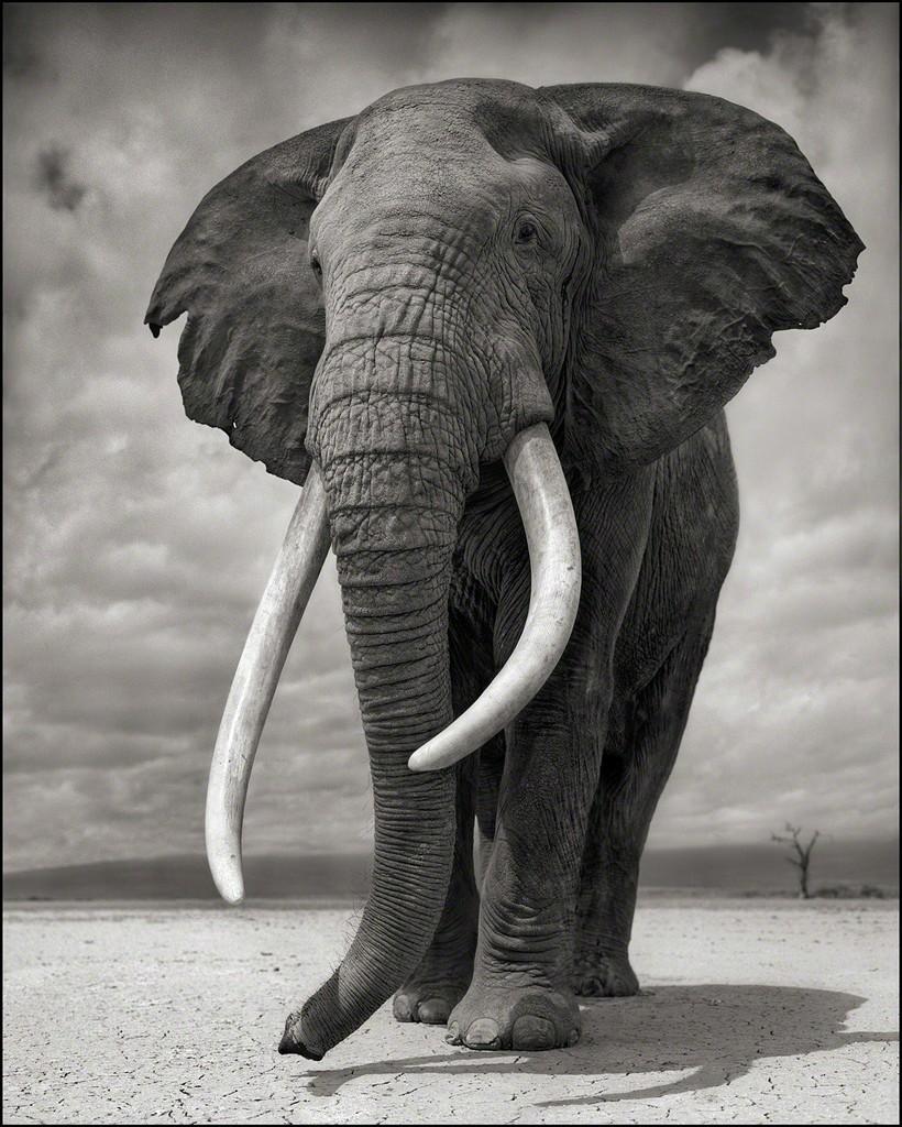 nick brandt portrait of elephant on bare earth 2011