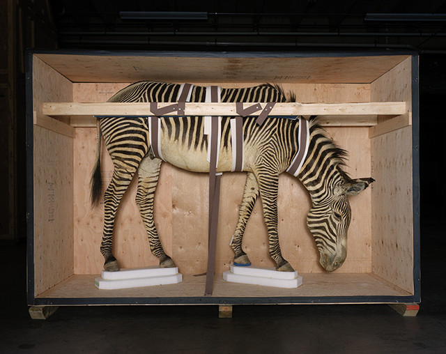Richard Barnes, 'Smithsonian Zebra from Animal Logic ', 2005, Bau-Xi Gallery