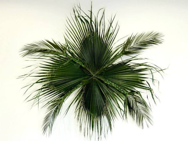 , 'Washingtonia,' 2013, Alberta Pane
