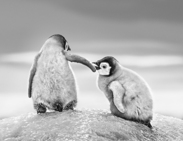 David Yarrow, 'Helping Hand', Galleri Fineart