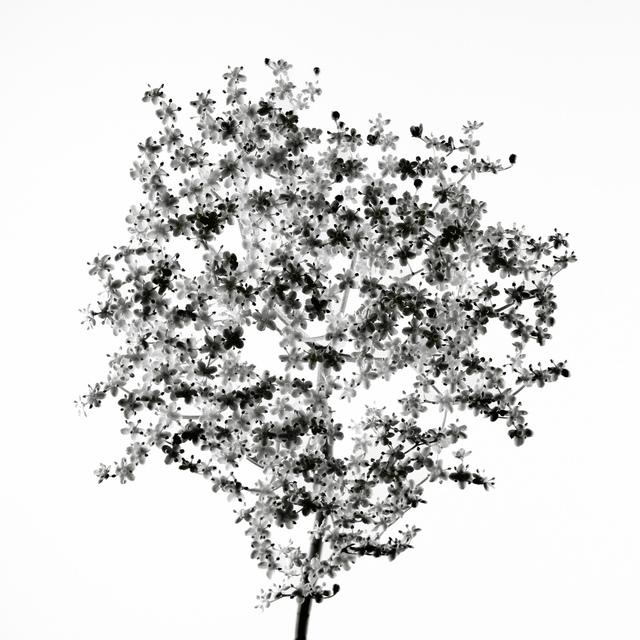 , 'Nature - Fleur de sureau,' 2013, Galerie Lelong & Co.