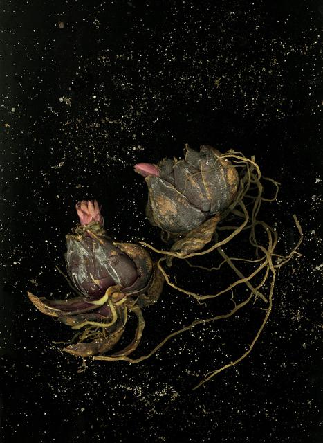 , 'Tulipa,' 2016, Jessica Carlisle