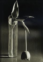 Melancholic Tulip