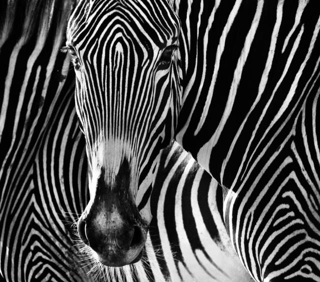 David Yarrow, 'The Puzzle', 2013, Photography, Archival Pigment Print, Hilton Asmus