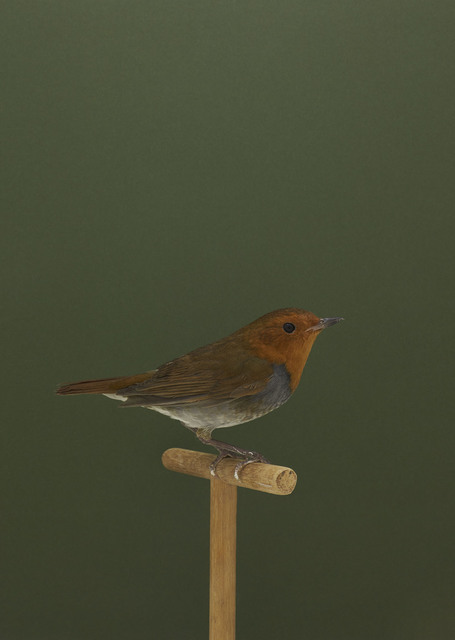 , 'Japanese Robin #1,' ca. 2016, The Photographers' Gallery