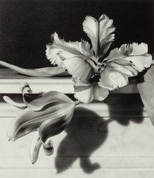 Tulips. O.B. NY