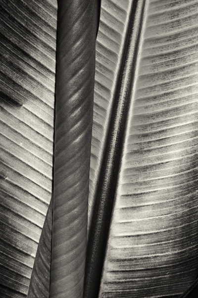 Cara Weston, 'Two Leaves, Moorea', Photography, Archival Pigment Print, Weston Gallery