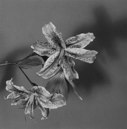 , 'Lily,' 1979, McCabe Fine Art