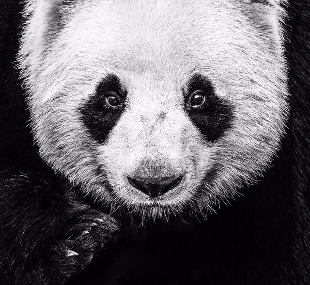 , 'Kung Fu Panda,' 2016, Isabella Garrucho Fine Art