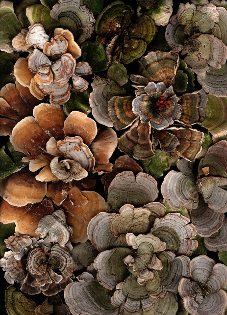 Lisa Frank, 'Arranged Turkey Tails (Contemporary Still Life Photograph of Earth Toned Moss)', 2006, Carrie Haddad Gallery